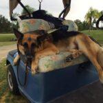 Image of Charlie Boy the service dog